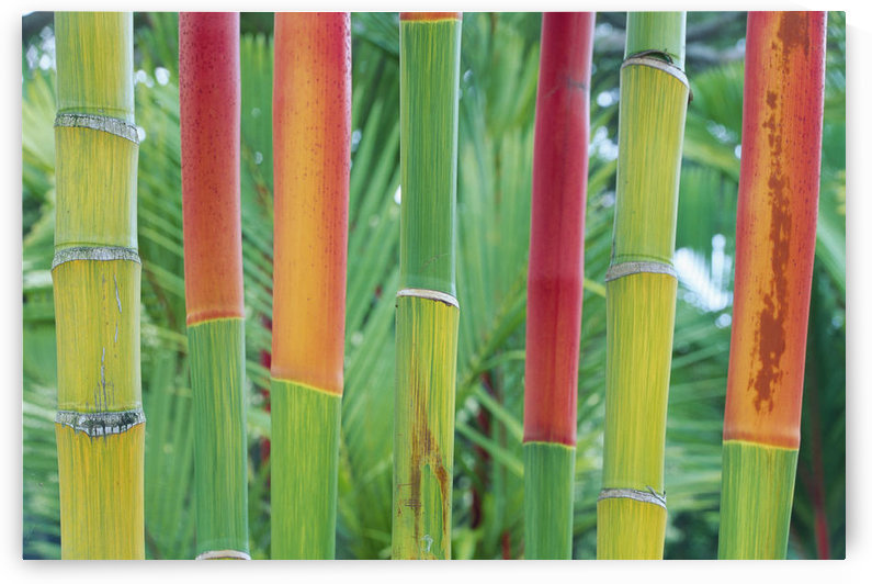 Hawaii, Maui, Detail Of Red Wax Palm Stalks Lined In Row Close-Up, Foliage Background by PacificStock