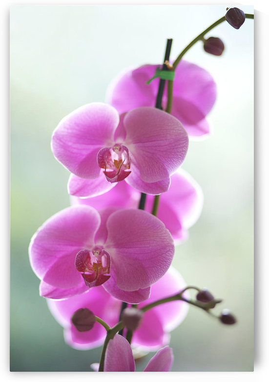 Hawaii, Kauai, Pink Orchids On Studio Background. by PacificStock