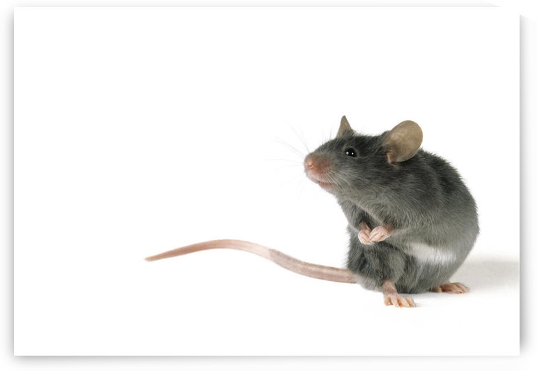 Fl6496, Natural Moments Photography; Mouse Standing On Hind Legs, White Background by PacificStock