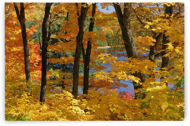 Sugar Maples, Gatineau Park, Quebec by PacificStock