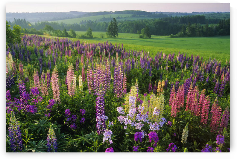 Lupins, Clinton, Prince Edward Island by PacificStock