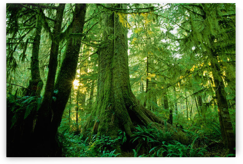Forest Trees, Carmang Walbran Provincial Park, Vancouver Island, Bc by PacificStock