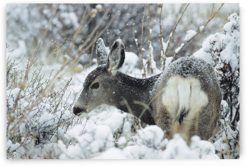 Mule Deer (Odocoileus Hemionus) In Snow, Rocky Mountain National Park, Colorado by PacificStock