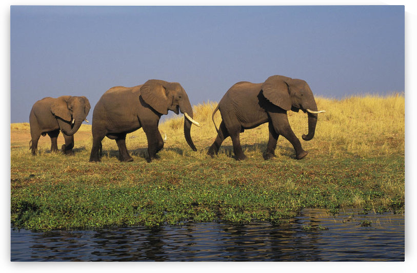 African Elephants, Lake Kariba, Matusadona National Park, Zimbabwe. by PacificStock