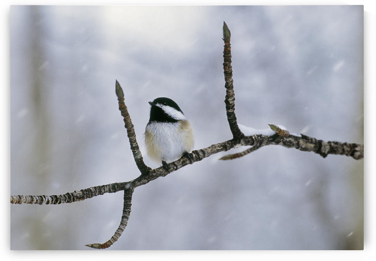 Black-Capped Chickadee, Alberta. by PacificStock