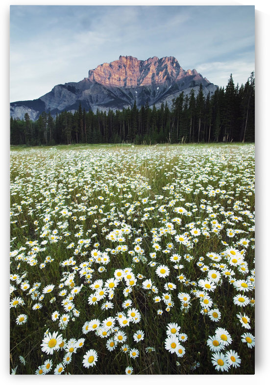 Ox-Eyed Daisies, Cascade Mountain, Banff National Park, Alberta. by PacificStock