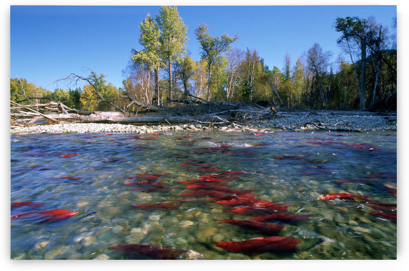 Spawning Sockeye Salmon, Adams River, British Columbia. by PacificStock
