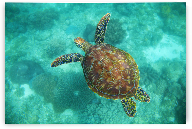 A Sea Turtle Swims Underwater In The Apo Island Marine Reserve And Fish Sanctuary; Apo Island, Negros Oriental, Philippines by PacificStock