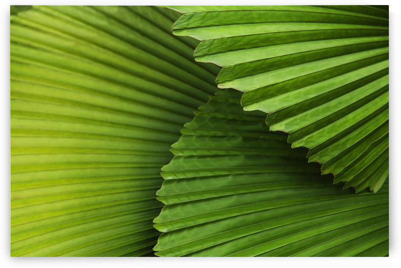 Palm Leaves And Fronds At The Singapore Zoo; Singapore by PacificStock
