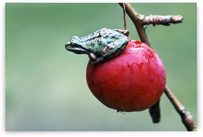 Pacific Tree Frog On A Crab Apple, British Columbia by PacificStock
