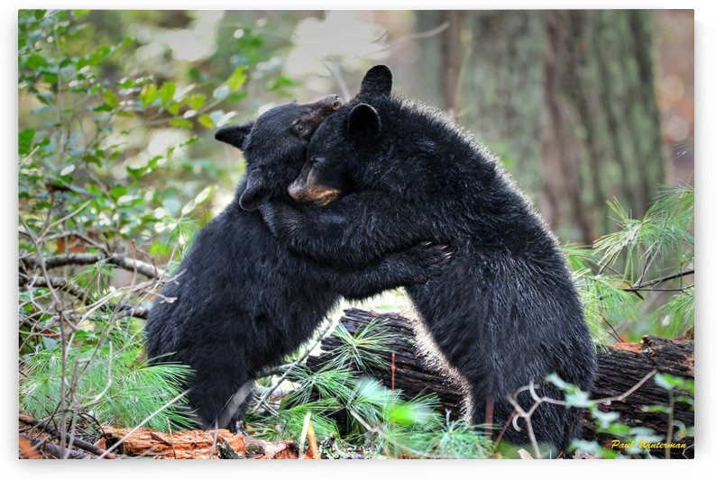 Bear Hug by Paul Winterman