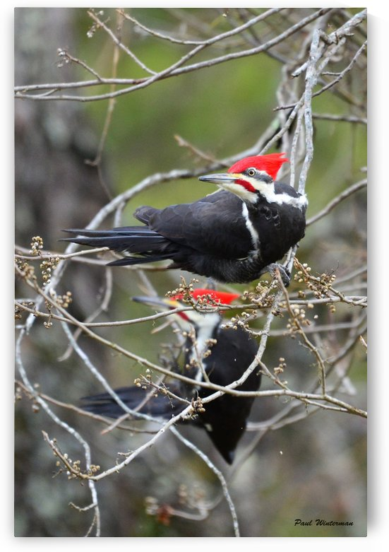 Pileated Woodpeckers by Paul Winterman