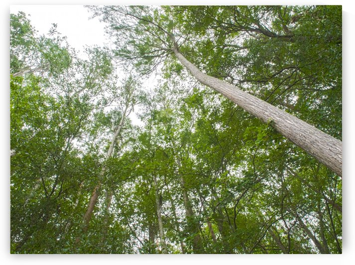HDR Forest looking up slight angle by PJ Lalli