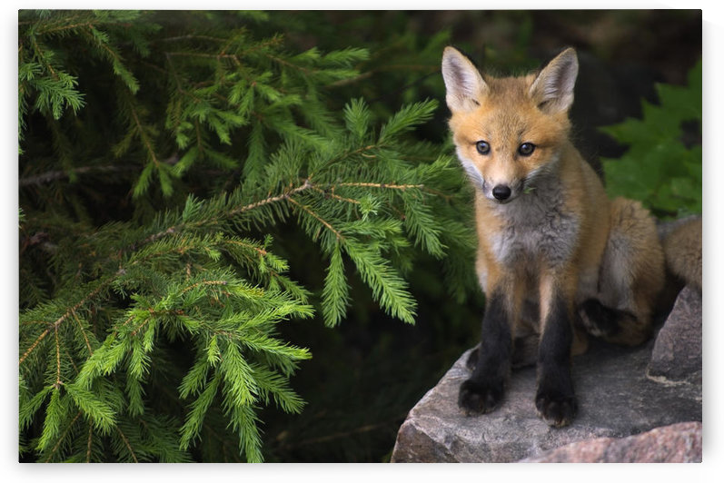 Young Red Fox On A Rock With Evergreen In Background, Killarney Provincial Park, Ontario by PacificStock