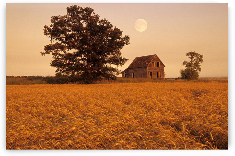 Mature Winter Wheat With Old House And Oak Tree In The Background, Beausejour, Manitoba by PacificStock
