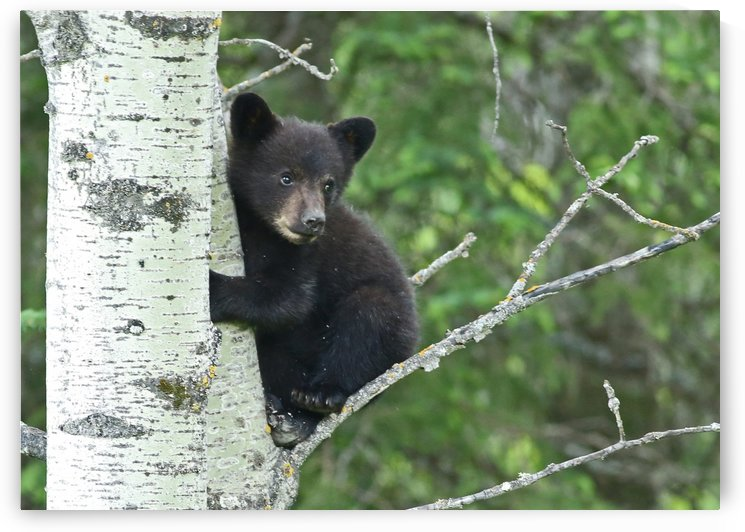 Black Bear Cub #12 by Guy Lichter