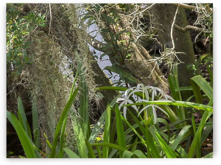 HDR Crinum lilies in frount of tree trunks and Spanish moss by PJ Lalli