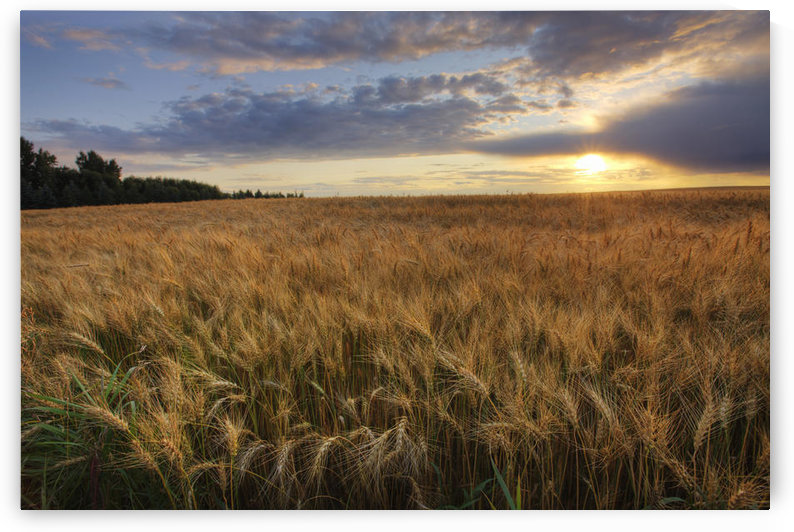 Sunset Over Field Of Ripe Barley, Alberta by PacificStock