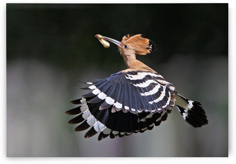 Hoopoe,Feeding.. by 1x