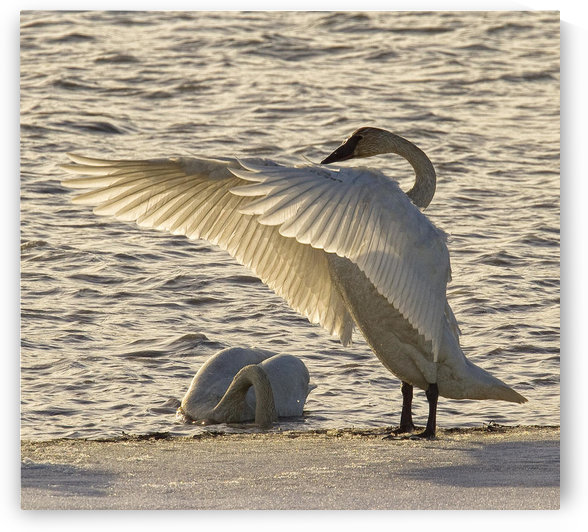 Swan Fanning Its Wings On The Ice Along The Tagish River, Yukon. by PacificStock