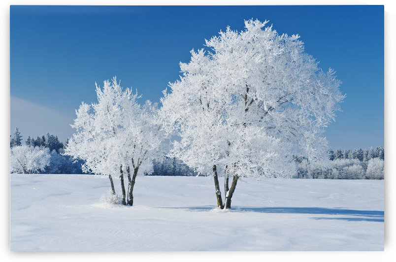 Field With Frost Covered Trees, Birds Hill Provincial Park, Manitoba, Canada by PacificStock