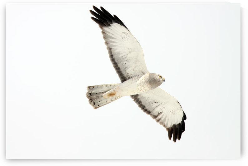 Northern Harrier Hawk, Yukon by PacificStock