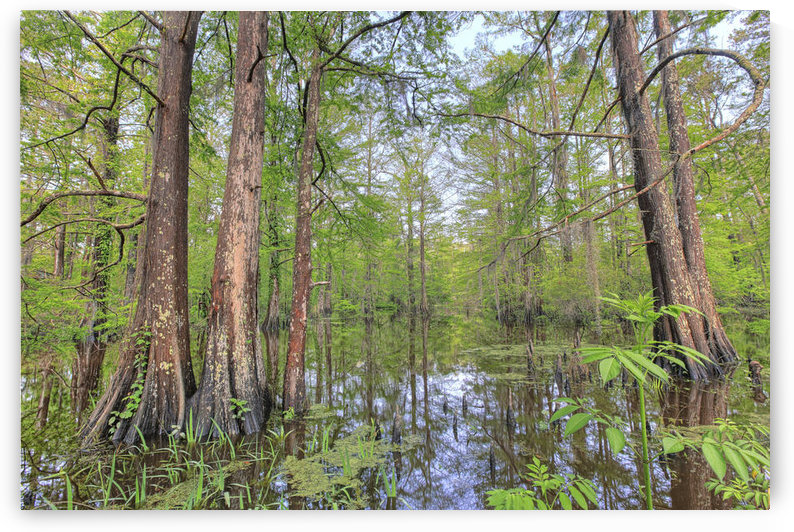 Swamp, Southern Louisiana by PacificStock