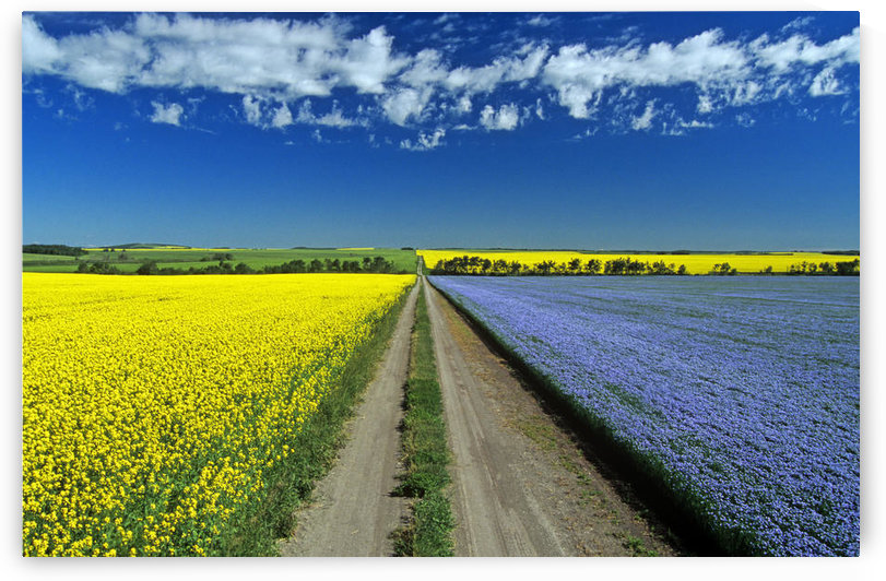 Road Through Flowering Flax And Canola Fields, Tiger Hills Near Somerset, Manitoba by PacificStock