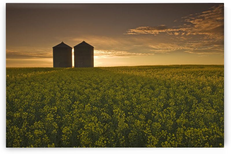 Bloom Stage Canola Field With Grain Bins In The Background, Tiger Hills, Manitoba by PacificStock