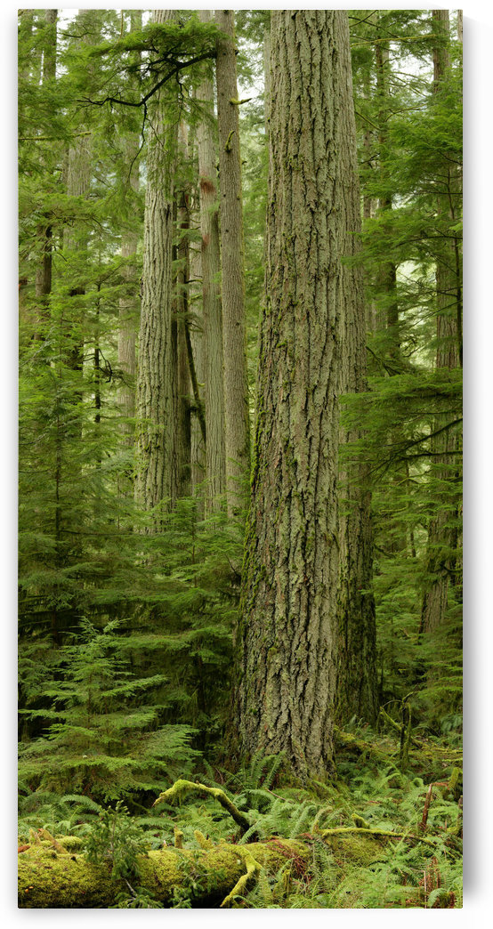 Douglas Firs And Sitka Spruce, Cathedral Grove, British Columbia by PacificStock
