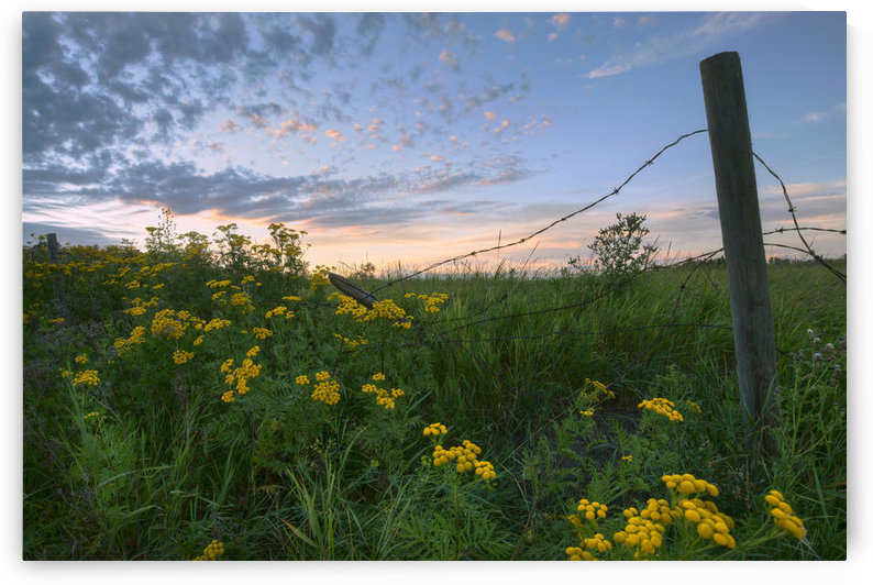 A Summer Evening Sky With Yellow Tansy Flowers And Barbed Wire Fence On A Farm In Central Alberta by PacificStock