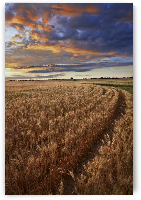 Sunrise Over A Barley Field On A Farm In Central Alberta by PacificStock