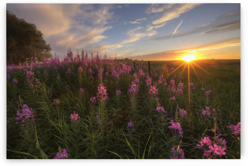 Prairie Wildflowers During Sunset In Central Alberta by PacificStock