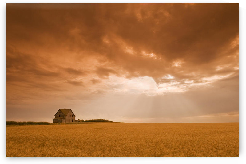 Abandoned Farm In Durum Wheat Field, Near Assiniboia, Saskatchewan, Canada by PacificStock