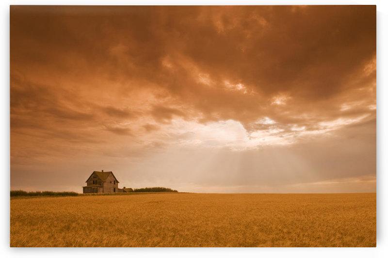 Abandoned Farm In Durum Wheat Field, Near Assiniboia, Saskatchewan, Canada by PacificStock