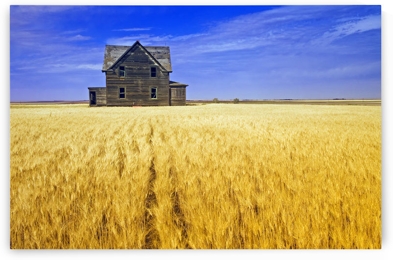 Abandoned Farmhouse In Wind-Blown Durum Wheat Field, Near Assiniboia, Saskatchewan, Canada by PacificStock