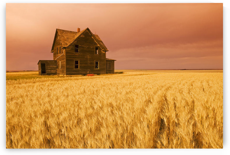 Abandoned Farm House, Wind-Blown Durum Wheat Field Near Assiniboia, Saskatchewan by PacificStock