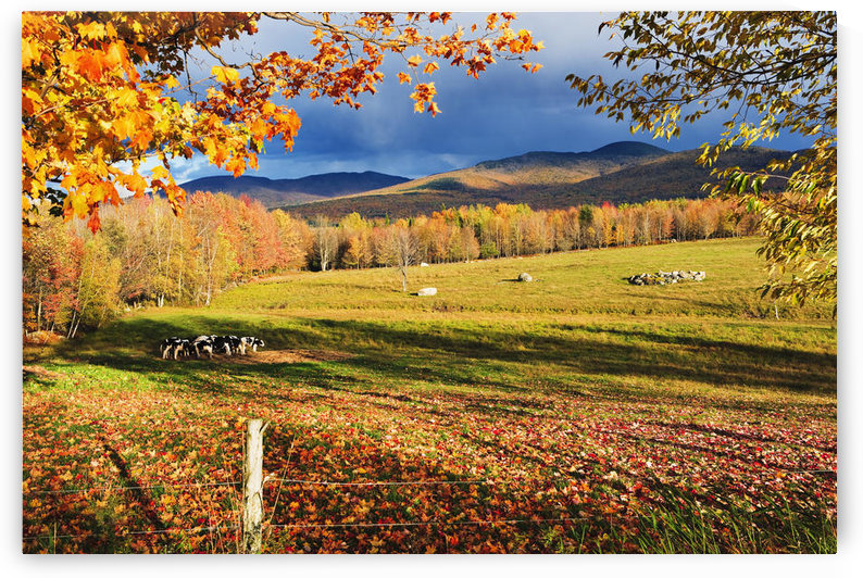 Fall Colours, Cows In Field And Mont Sutton, Sutton, Eastern Townships, Quebec by PacificStock