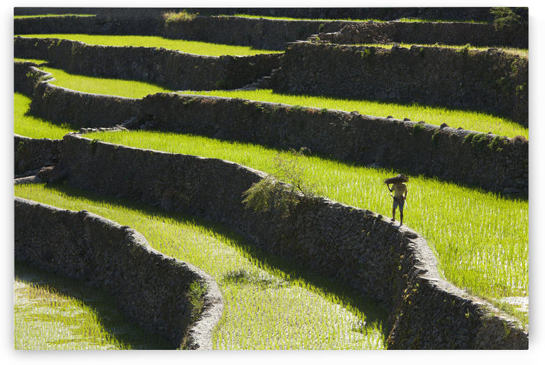 A Farmer Walks Along The Famous Rice Terraces; Batad Northern Luzon Philippines by PacificStock