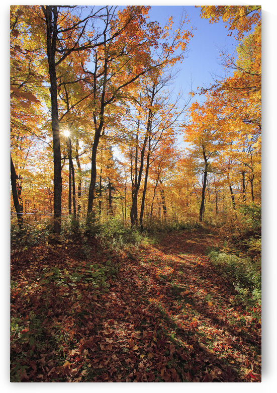Sugar Maple Trees In Fall, Bas-Saint-Laurent Region, Saint-Simon, Quebec by PacificStock