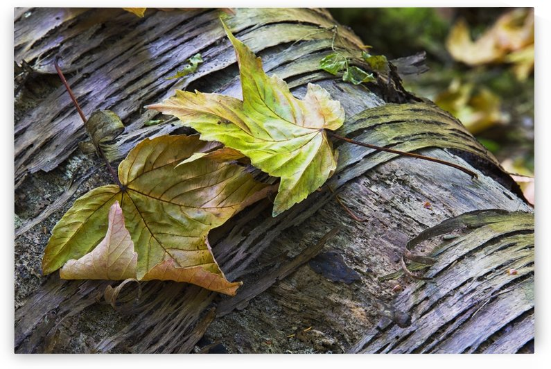 Maple leaves in autumn as they lay across a rotting log in a forest;British columbia canada by PacificStock