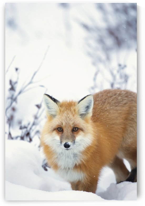 Red fox (vulpes vulpes) in the snow along the shores of the hudson's bay;Churchill manitoba canada by PacificStock