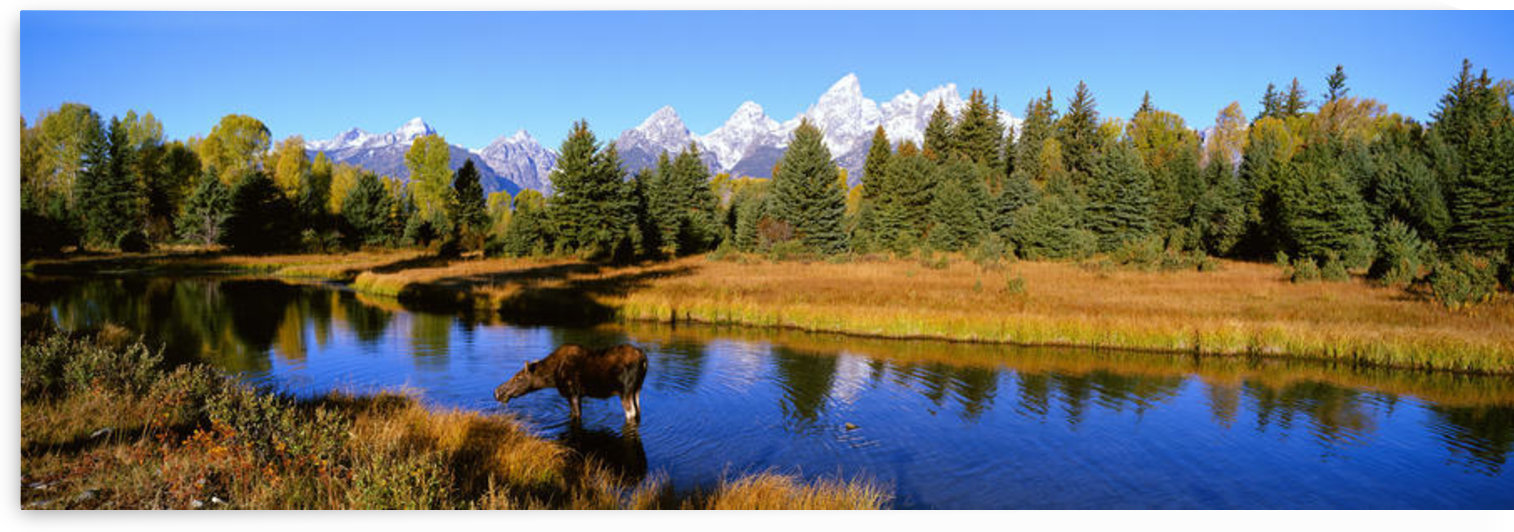 Cow Moose, Snake River, Grand Teton Np, Wy by PacificStock