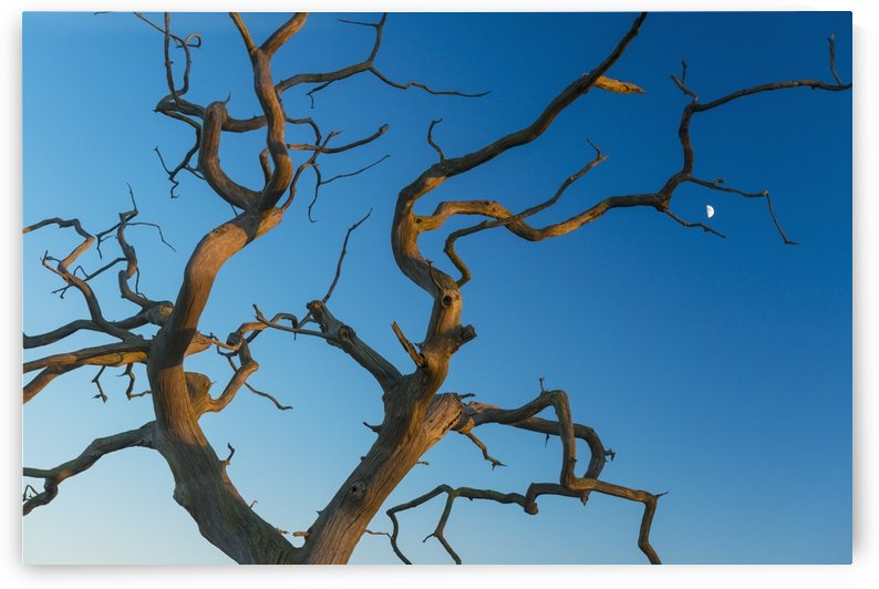 Old, dead tree with moon behind; Snape, Suffolk, England by PacificStock