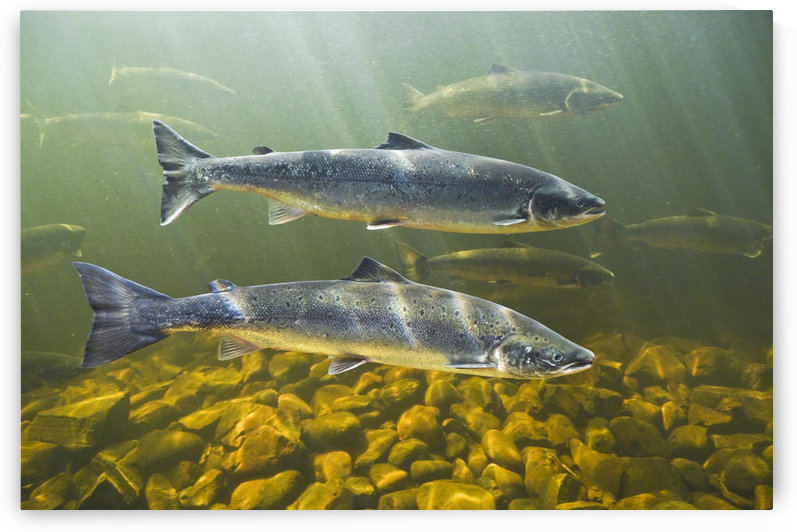 Atlantic Salmon Adults Migrate From Salt Water Of North Atlantic Ocean Upstream Through Freshwater Of Their Natal River To Reach Spawning Grounds, Exploits River, Newfoundland by PacificStock
