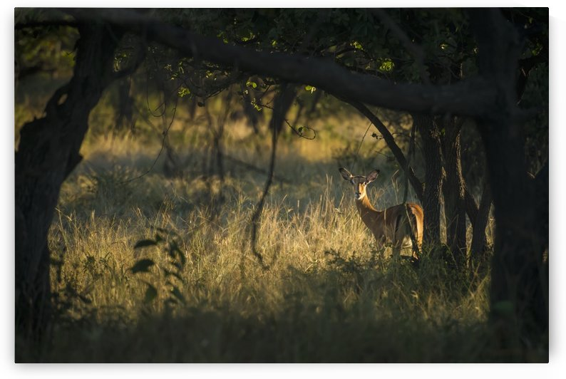 Wary impala (Aepyceros melampus) looking through bushes at dawn, Liwonde National Park; Malawi by PacificStock