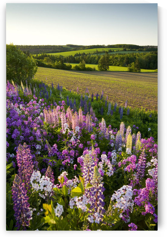 Lupins And Phlox Flowers, Clinton, Prince Edward Island by PacificStock