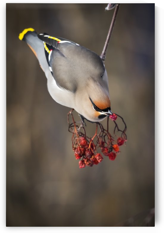 Bohemian waxwing (Bombycilla garrulus) feeds on Mountain Ash berries; Anchorage, Alaska, United States of America by PacificStock