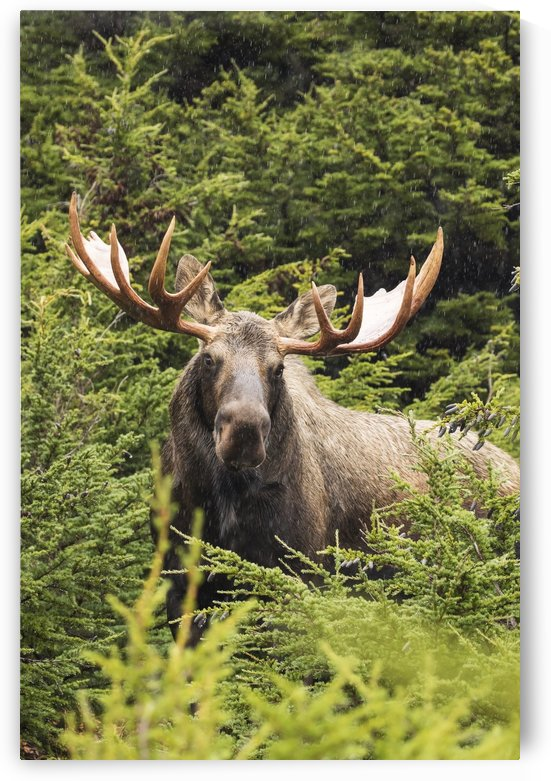 Bull moose (alces alces) in rutting period, Powerline Pass, South-central Alaska; Alaska, United States of America by PacificStock