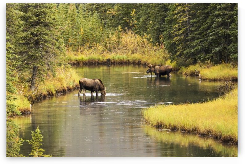 Bull and cow moose (alces alces) feeding in a shallow pond south of Cantwell, photo taken from Parks Highway common moose habitat; Alaska, United States of America by PacificStock